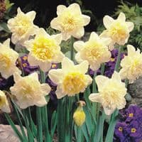Ready Potted 1 Litre Pot   ICE KING DOUBLE DAFFODIL
